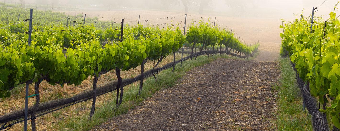 MiraLaguna Vineyard in fog