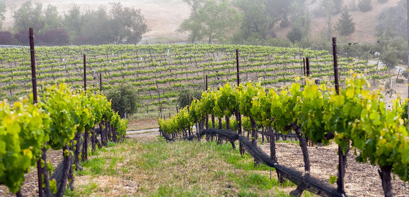 MiraLaguna Vineyard